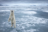 Polar Bear, Svalbard, Norway Fotografie-Druck