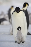 Emperor Penguin and Chick in Antarctica Reproduction photographique