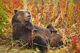 Brown Bear, Katmai National Park, Alaska Fotografie-Druck