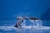 Humpback Whale, Alaska Lámina fotográfica
