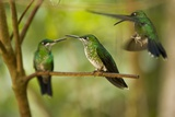 Hummingbirds, Costa Rica Reproduction photographique