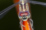 Dragonfly, Osa Peninsula, Costa Rica Reproduction photographique