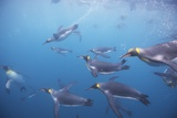 King Penguins Underwater at South Georgia Island Photographic Print