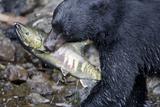 Black Bear and Chum Salmon in Alaska Photographic Print