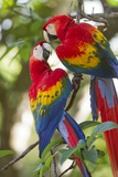Scarlet Macaws, Costa Rica Fotoprint