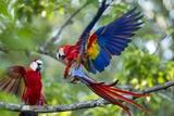 Scarlet Macaws, Costa Rica Lámina fotográfica