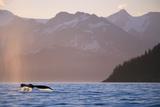 Humpback Whale Surfacing in Aialik Bay Fotografie-Druck