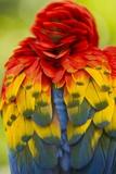 Scarlet Macaw, Costa Rica Lámina fotográfica