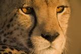 Cheetah, Masai Mara Game Reserve, Kenya Fotografisk tryk