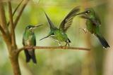 Hummingbirds, Costa Rica Fotografisk tryk
