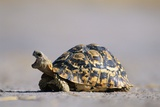 Leopard Tortoise with Open Mouth Fotografisk tryk