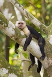 White-Faced Capuchin , Costa Rica Fotografisk tryk