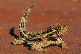 Thorny Devil on Desert Sand Fotografisk tryk