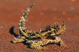 Thorny Devil on Desert Sand Photographic Print