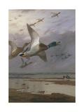 Duck Rising Giclée-Druck von Archibald Thorburn