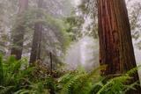 Fog and Redwood Grove, California Coast Fotografie-Druck von Vincent James