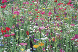 Flower Meadow Giclee Print by Ella Lancaster