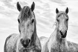 White Horses, Camargue, France プレミアム写真プリント : ナディア・イサコワ