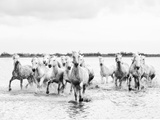 Camargue White Horses Galloping Through Water, Camargue, France Stampa fotografica di Nadia Isakova
