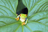 Red-Eyed Tree Frog (Agalychins Callydrias) Emerging from a Leaf, Costa Rica Photographic Print by Marco Simoni