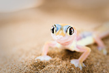Dune Gecko II Reproduction photographique par Beth Wold