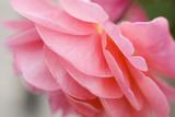 Rosier à cent feuilles II Reproduction photographique Premium par Beth Wold