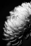 Dahlia I Reproduction photographique par Beth Wold