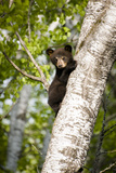 Bear Cub in Tree III Reproduction photographique par Beth Wold