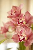 Pink Orchid I Impressão fotográfica por Karyn Millet