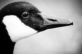 Canadian Goose II Reproduction photographique Premium par Beth Wold