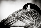 Canadian Goose I Reproduction photographique Premium par Beth Wold