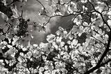 Spring Dogwood I Fotografisk tryk af Alan Hausenflock