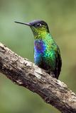 Hummingbird I Fotografisk trykk av Larry Malvin
