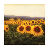 Tuscan Sunflowers Premium Giclee Print by Amy Melious