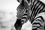 Zebra II Fotografisk tryk af Beth Wold