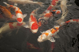 Koi I Photographic Print by Karyn Millet