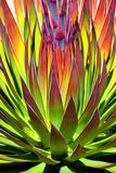 Colorful Agave II Stampa fotografica di Douglas Taylor