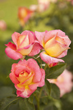 Rose Garden II Photographic Print by Karyn Millet