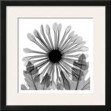 Chrysanthemum in Black and White Posters by Albert Koetsier