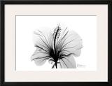Hibiscus in Black and White Poster by Albert Koetsier