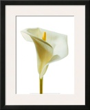 Lily in Bloom I Prints