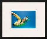 Hawaiian Green Sea Turtle Print by Theresa Young