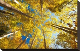 Aspens on the Canon Brook Trail Stretched Canvas Print by Michael Hudson