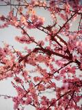 Cerisiers en fleurs II Reproduction photographique par Susan Bryant