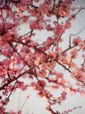 Cerisiers en fleurs I Reproduction photographique par Susan Bryant
