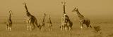 Girafes Reproduction photographique par Sarah Farnsworth