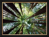 Redwood Grove Framed Photographic Print by Douglas Steakley