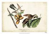 Yellow-billed Cuckoo Reproduction procédé giclée par John James Audubon