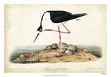 Black Necked Stilt Reproduction procédé giclée par John James Audubon