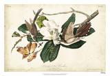 Black-billed Cuckoo Reproduction procédé giclée par John James Audubon